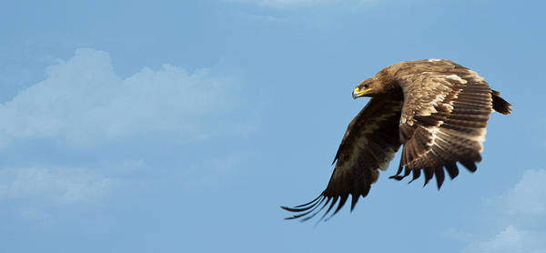Eagle Photograph - Steppe Eagle by Digital Fly
