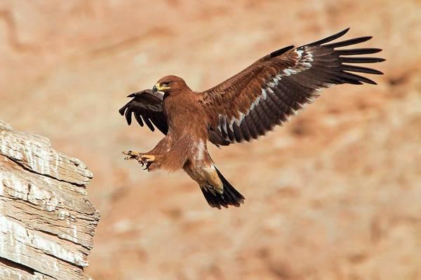 Eagle In Flight Photograph - Steppe Eagle Landing by Bildagentur-online/mcphoto-schaef