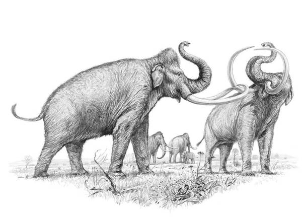 Wall Art - Photograph - Steppe Mammoths by Michael Long/science Photo Library