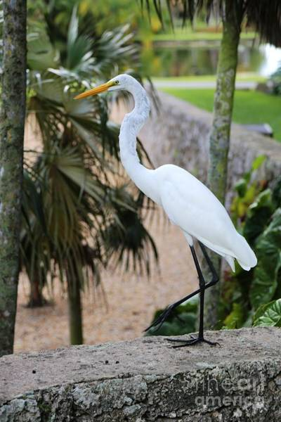 Photograph - Stepping Out Great Egret by Carol Groenen