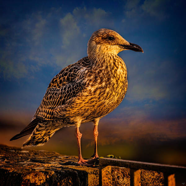 Photograph - Steven Seagull by Chris Lord