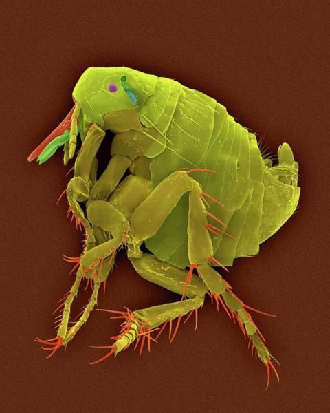 Body Piercing Photograph - Sticktight Flea by Dennis Kunkel Microscopy/science Photo Library