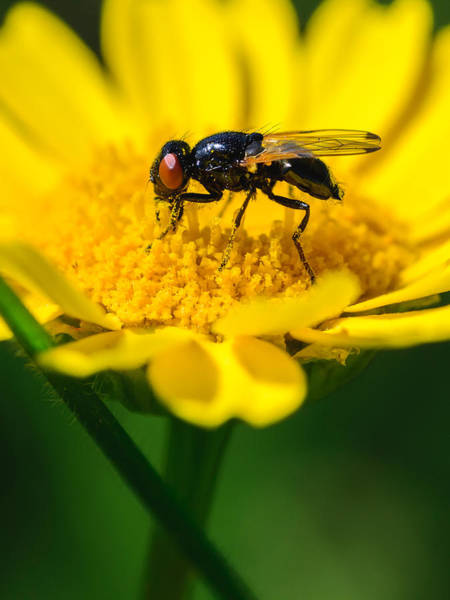 Bee Sting Photograph - Sticky Fingers by Marco Oliveira