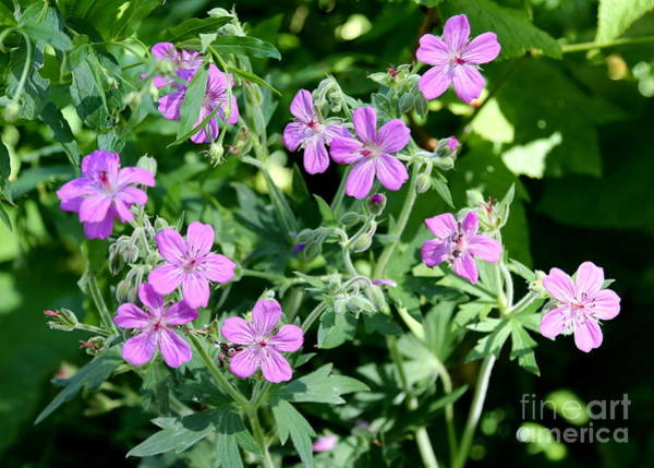 Photograph - Sticky Geraniums In Glacier National Park by Carol Groenen