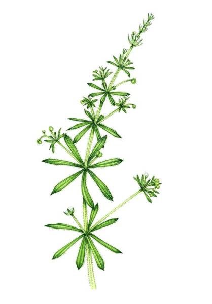 Wall Art - Photograph - Stickyweed (galium Aparine) In Flower by Lizzie Harper/science Photo Library