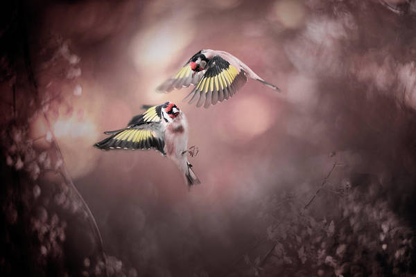 Flying Bird Photograph - Stiglitz by Doris Reindl