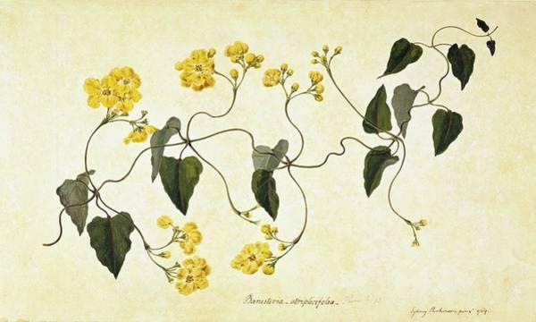 Dicotyledons Photograph - Stigmaphyllon Auriculatum by Natural History Museum, London