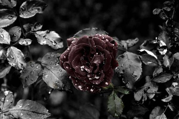 ...still A Rose Art Print