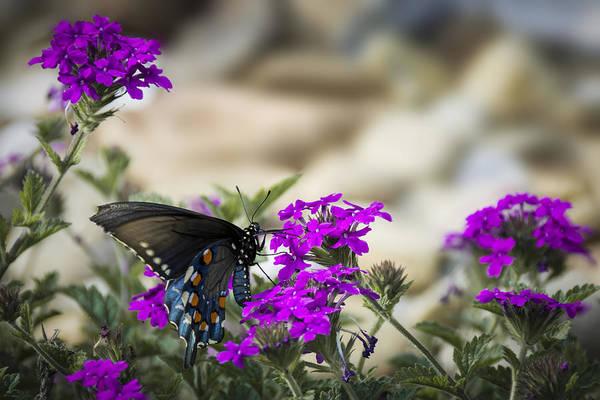 Photograph - Still Beautiful Swallowtail by Penny Lisowski