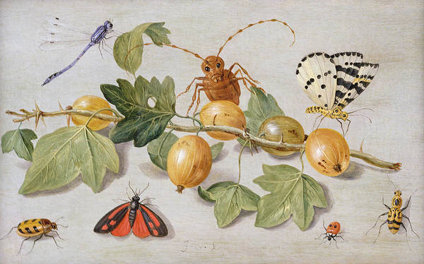 Ladybird Wall Art - Painting - Still Life Of Branch Of Gooseberries by Jan Van Kessel