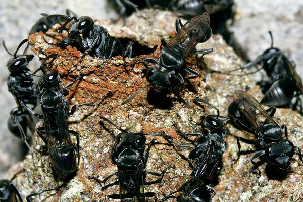 Bee Hive Photograph - Stingless Bees by Dr Morley Read/science Photo Library