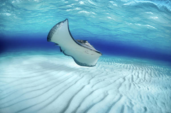 Underwater Photograph - Stingray by Extreme-photographer