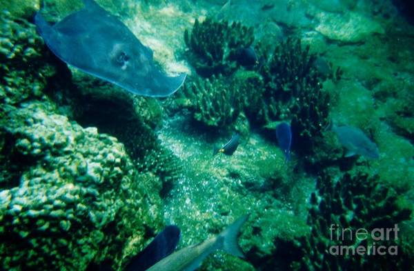 Photograph - Stingray In The Coral by D Hackett