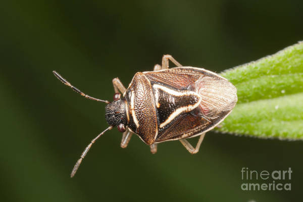 Photograph - Stink Bug by Clarence Holmes