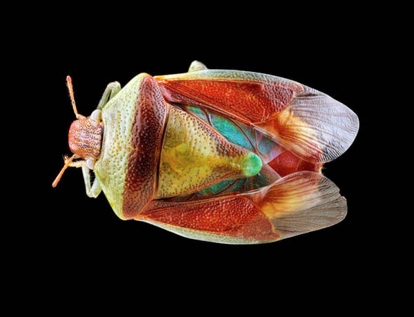 Image Stacking Photograph - Stink Bug by Us Geological Survey
