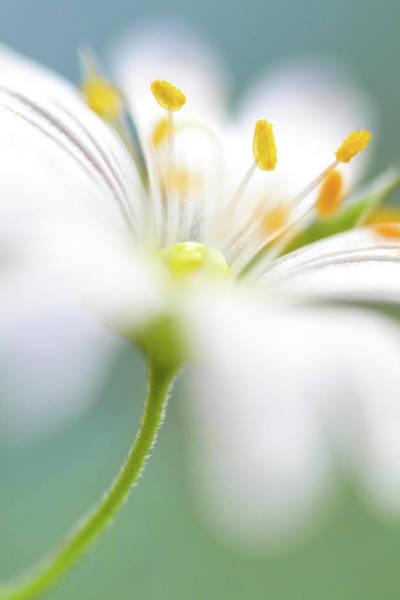 Wall Art - Photograph - Stitchwort Surprise by Mandy Disher