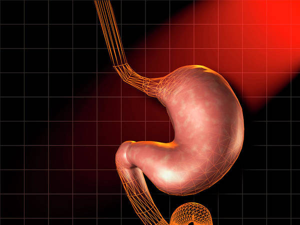 Esophagus Wall Art - Photograph - Stomach by Harvinder Singh