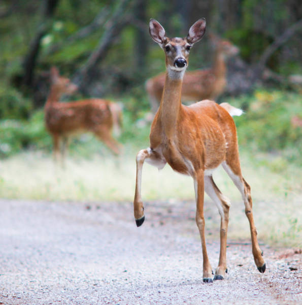 Deer Photograph - Stomp by Aaron Aldrich
