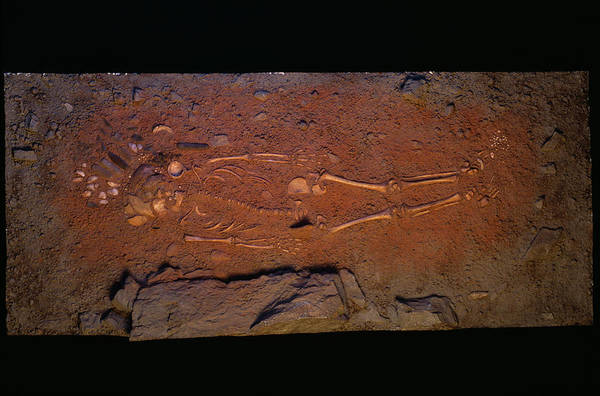 Homo Sapiens Photograph - Stone Age Human Skeleton by Pascal Goetgheluck/science Photo Library