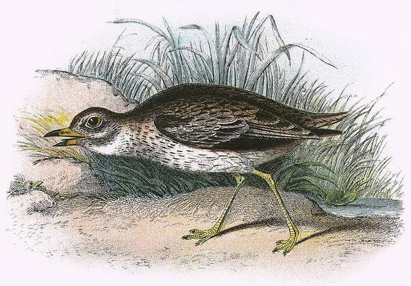 Ornithology Photograph - Stone Curlew by English School