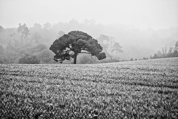 Photograph - Stone Pine In The Mist by Georgia Fowler