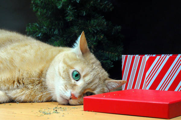 Orange Tabby Photograph - Stoned On Catnip by Diana Angstadt