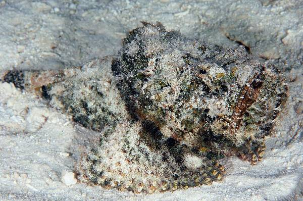 Wall Art - Photograph - Stonefish by Scubazoo/science Photo Library
