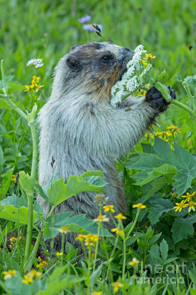 Marmot Photograph - Stop And Smell The Flowers by Natural Focal Point Photography