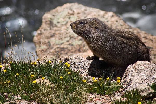 Marmot Photograph - Stop And Smell The Flowers by Priscilla Burgers