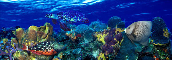 Hawksbill Turtle Photograph - Stoplight Parrotfish Sparisoma Viride by Panoramic Images