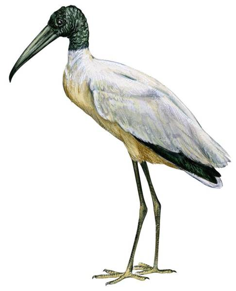 Close Up Drawing - Stork by Anonymous