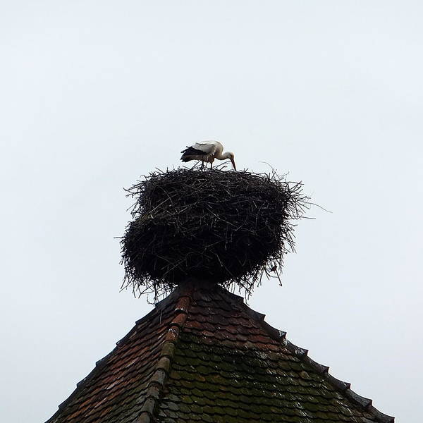 Photograph - Stork by Marc Philippe Joly