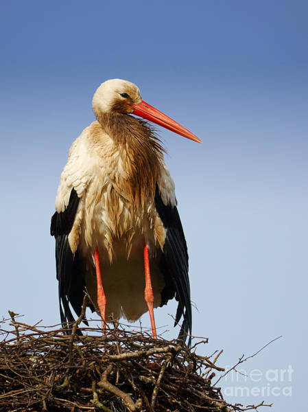 Photograph - Stork On A Nest by Nick  Biemans