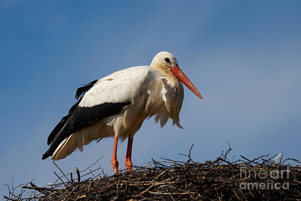 Photograph - Stork On Her Nest by Nick  Biemans