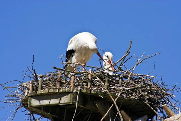 Behaviour Photograph - Storks Building A Nest by Dan Sams/science Photo Library