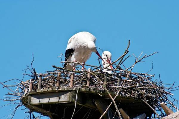 Behaviour Photograph - Storks by Dan Sams/science Photo Library