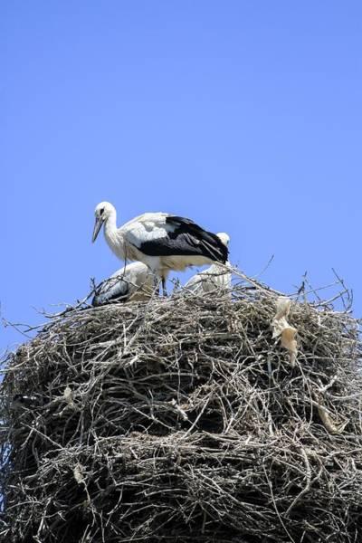 Birds Nest Photograph - Storks Nesting by Photostock-israel
