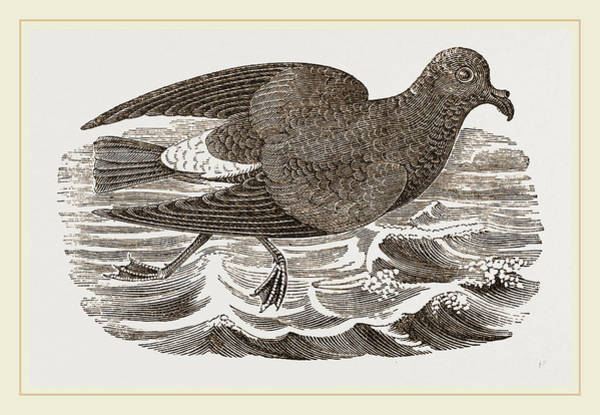 Stormy Drawing - Stormy Petrel by Litz Collection