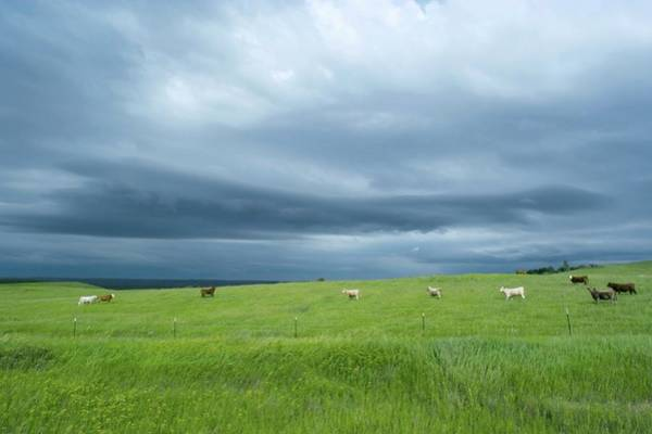 Wall Art - Photograph - Stormy Sky Over Cattle In Fields by Jim Reed Photography/science Photo Library