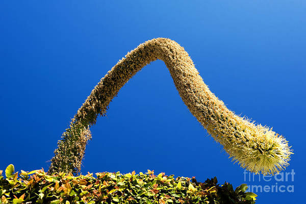 Photograph - Strange Plant Under Blue Sky by Yew Kwang