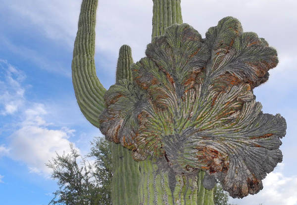 Photograph - Strange Saguaro Crest by Lynda Lehmann