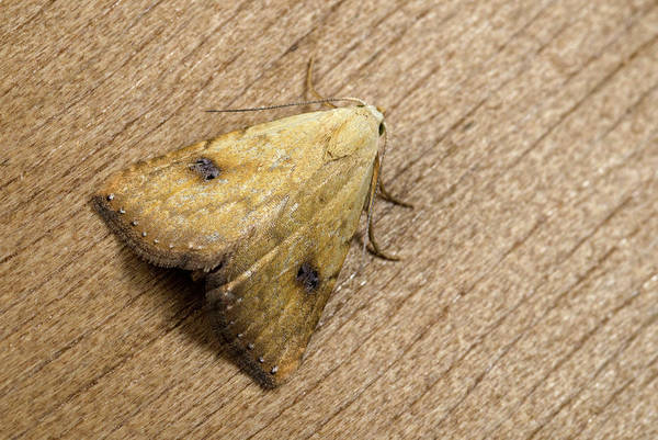 Entomology Photograph - Straw Dot Moth by Nigel Downer
