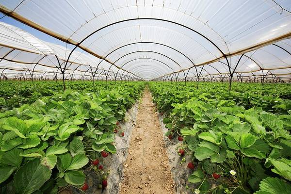 Strawberry Fields Wall Art - Photograph - Strawberries Growing In Polytunnels by David Parker