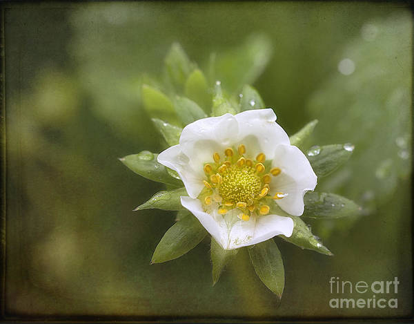 Photograph - Strawberry Blossom In The Rain by Ann Jacobson