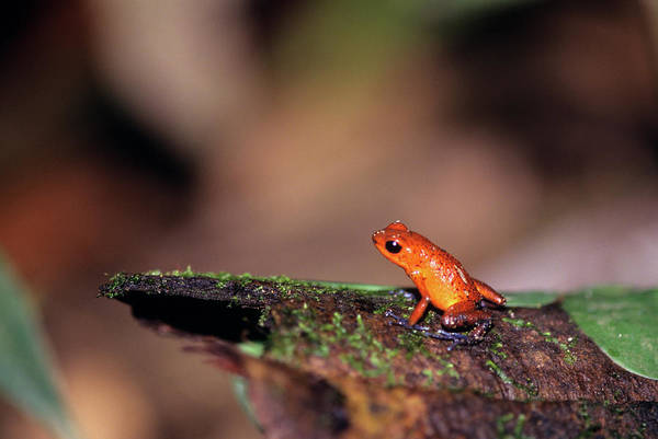 Poison Dart Frog Photograph - Strawberry Poison Dart Frog Dendrobates by Animal Images
