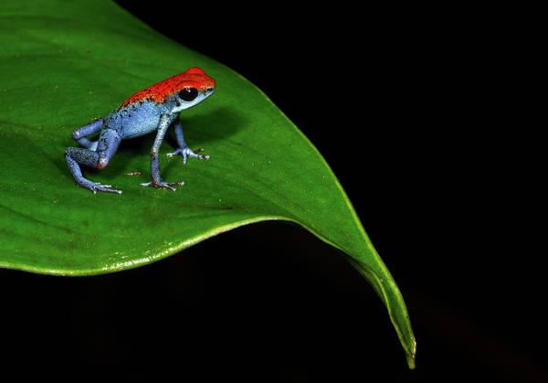 Poison Dart Frog Photograph - Strawberry Poison Frog by J.p. Lawrence Photography