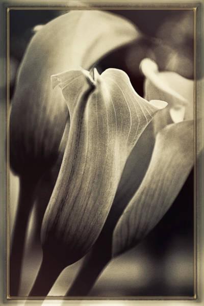 Calla Photograph - Strays by Darlene Kwiatkowski