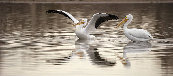 American White Pelican Wall Art - Photograph - Streaching Its Wings  by Gary Langley