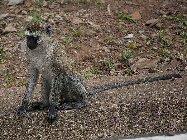 Kigali Wall Art - Photograph - Street Monkey by Paul Weaver