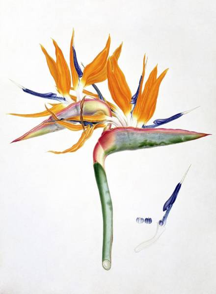 Wall Art - Photograph - Strelitzia Reginae Flowers by Natural History Museum, London